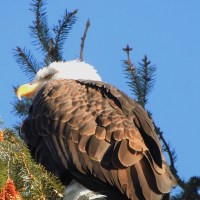 Bald Eagle in Wilderness, Our Neighbourhood – Brackendale Eagles Provincial Park and Vancouver