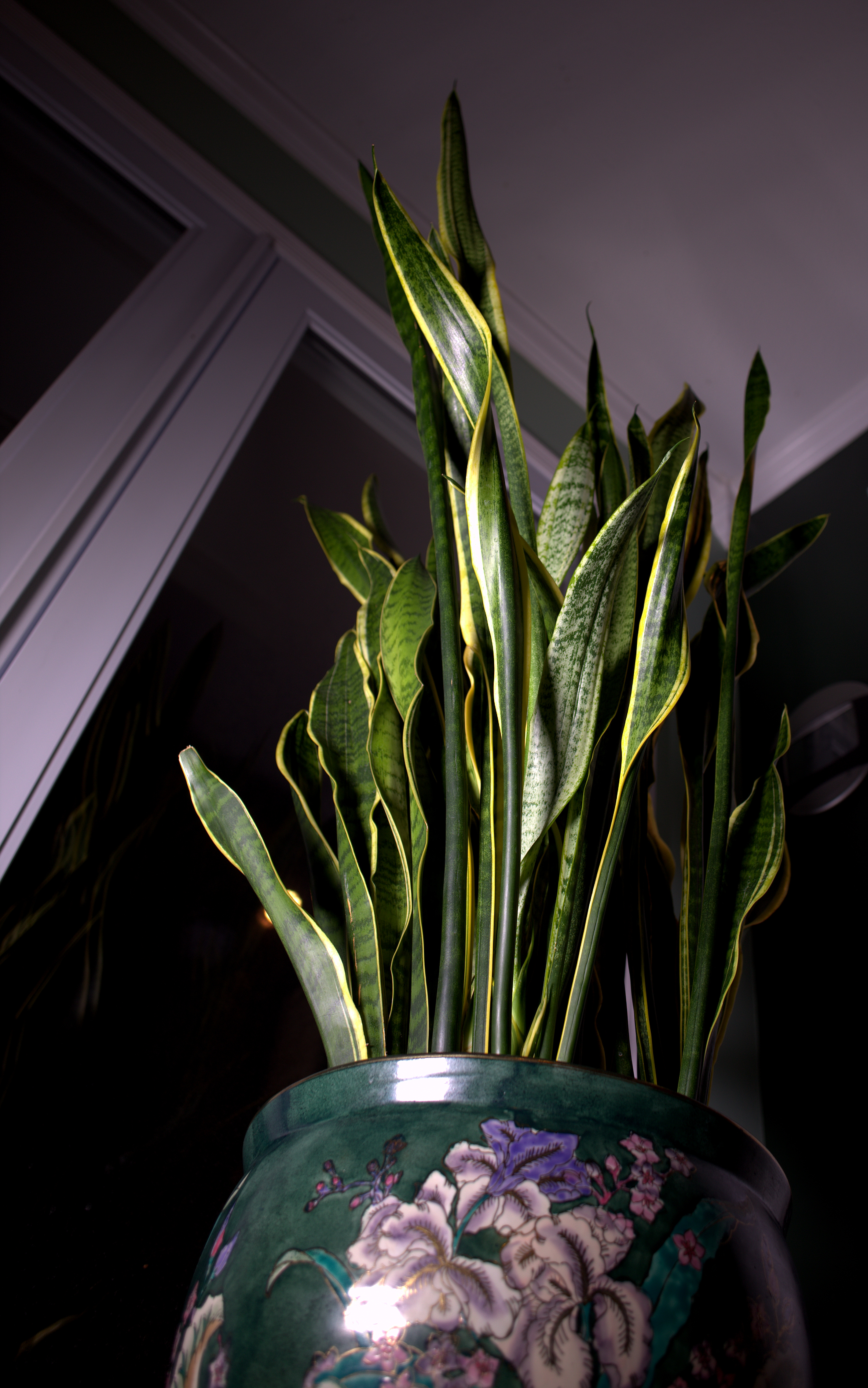 Photography ~ Sansevieria Trifasciata [Mother-in-Law's Tongue]–Back in the Kitchen/Family Room, 07/14