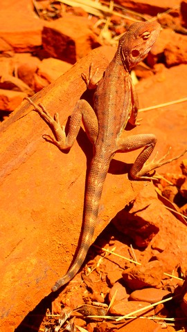 Go on, guess: what is it called? A ring-tailed dragon. What else? Almost indistinguishable from the rocks. Which is probably the idea