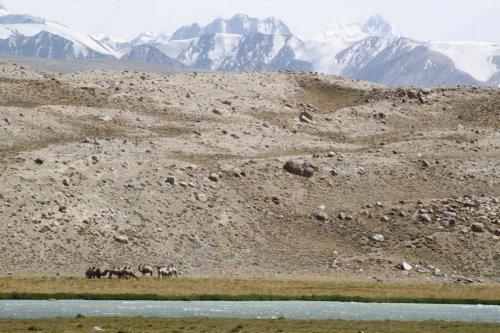 Chameaux afghans