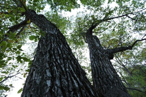 Forêt de noyers