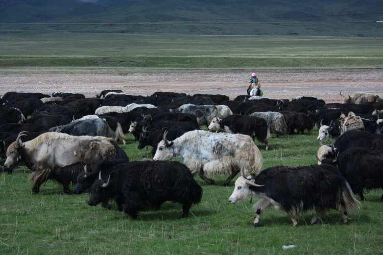 yak, Qinghai, China