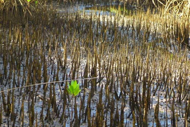 mangrove Guimaras