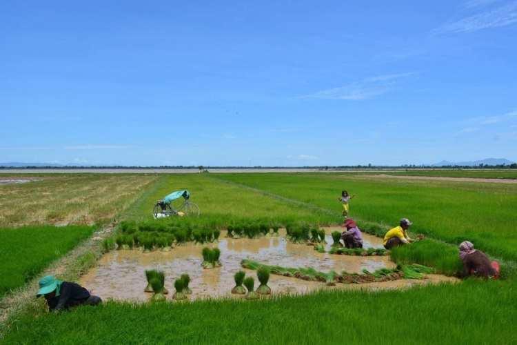 rice harvest cambodia