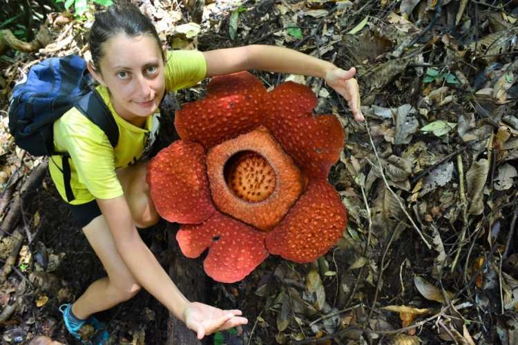 how to find a rafflesia gunung gading national park borneo