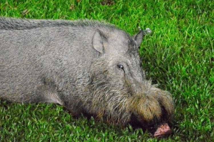 bearded wild pig of Bako National Park, Kuching
