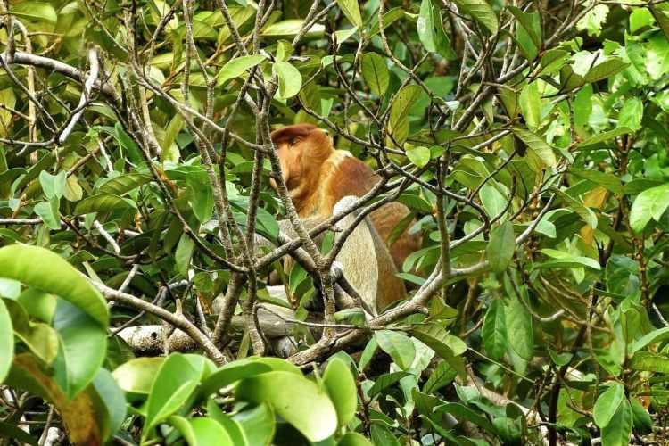 Bako National Park Proboscis Monkey