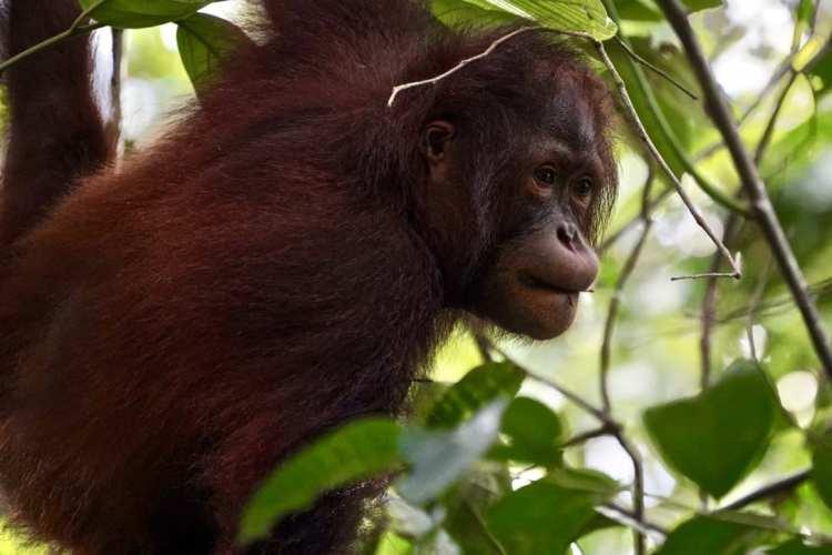 things to do borneo sepilok orangutan