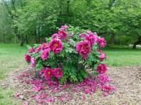 Tree Peony rose flame
