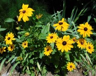 June Rudbeckia