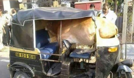 How did the cow get there
