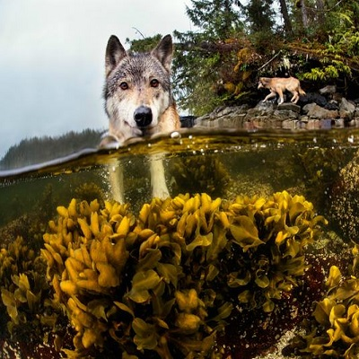 sea-wolves.jpg