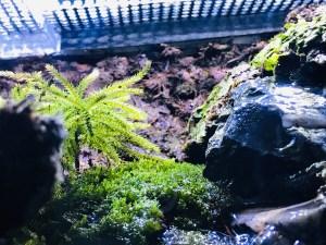 アカハライモリの水槽