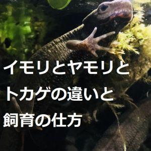 イモリとヤモリとトカゲの違いと飼育の仕方