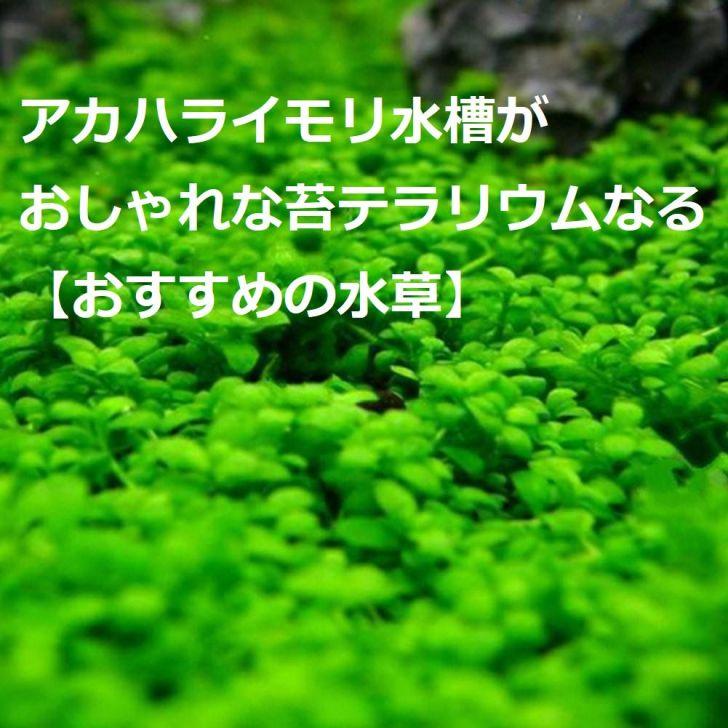 アカハライモリ水槽がおしゃれな苔テラリウムなる【おすすめの水草】