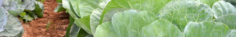 Click here to view a variety of collards you can add to your spring and fall garden.