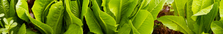 Click Here To Check Out A Variety Of Lettuce Plants