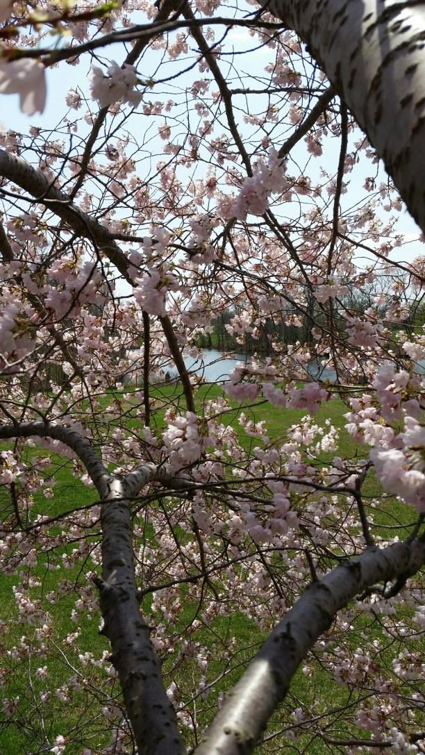 cherry blossom, lake, green grass