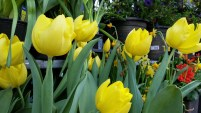 It wouldn't be spring without tulips
