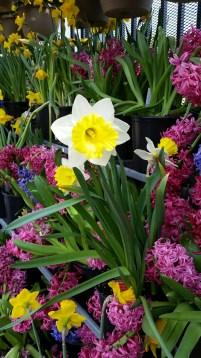 A daffodil in the hyacinths