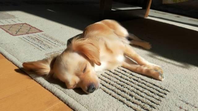 昼寝をする超小型犬