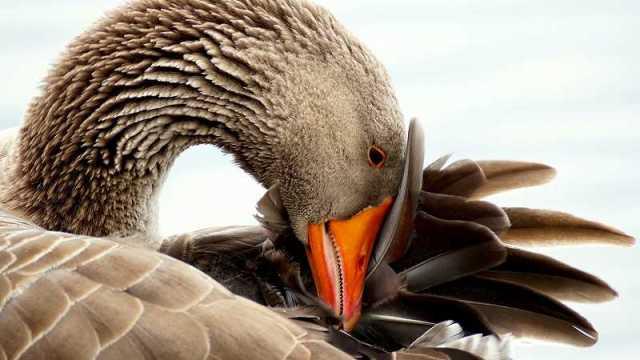 頭を抱える白鳥