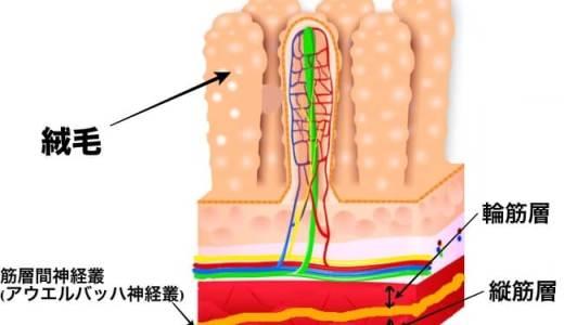アウエルバッハ神経叢の役割とは?その働きを図で解説!