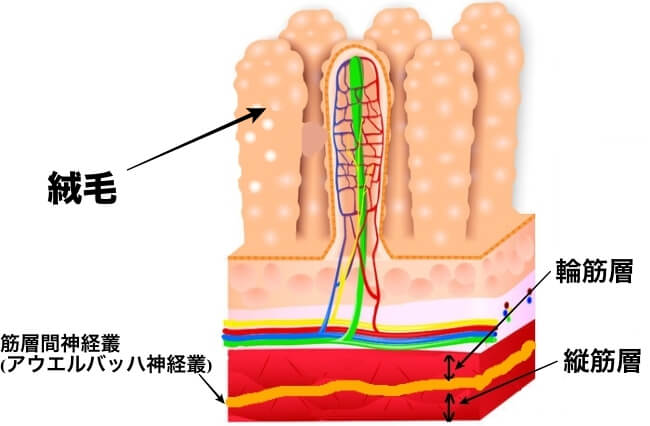 消化管 構造 機能 絨毛