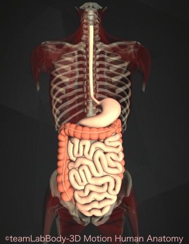 小腸位置図 機能働き全体像