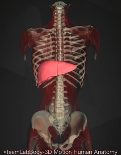 内臓痛み位置 肝臓