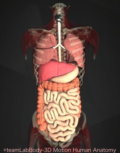 胃の位置 内臓図