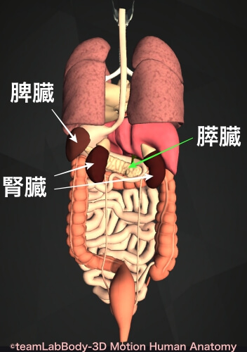 内臓の位置 場所 後面からの解剖図