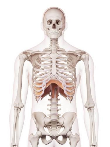 肝臓の場所 横隔膜