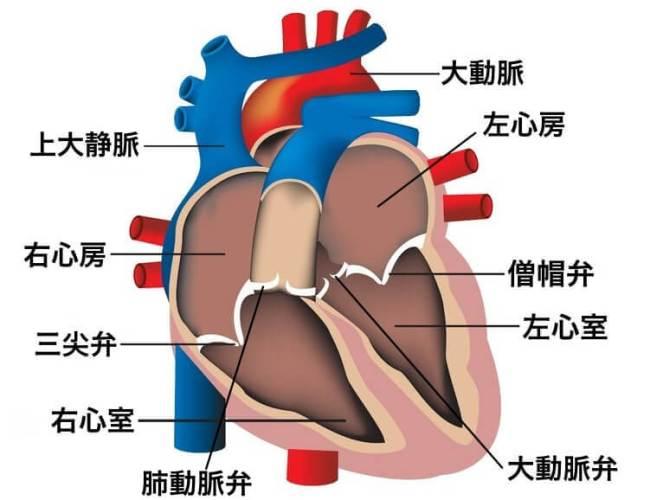 内臓 位置 解剖図 心臓の名称