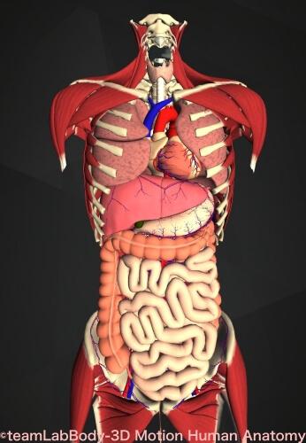 腸骨 位置 図 内臓