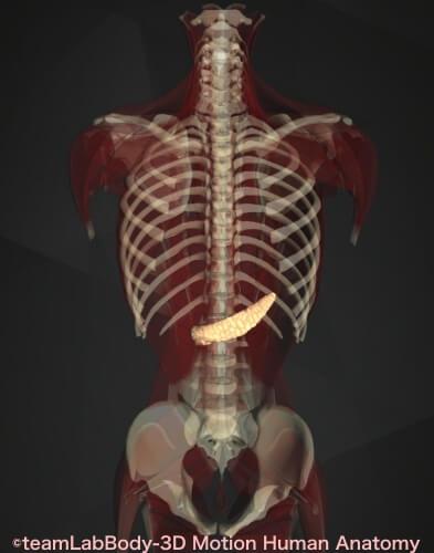 内臓痛み位置 膵臓