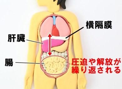 横隔膜 肝臓 腸 作用