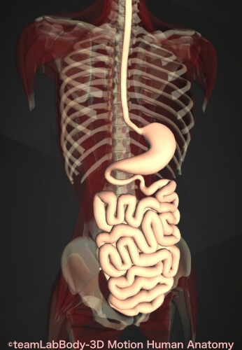 食べてからうんち消化時間 小腸