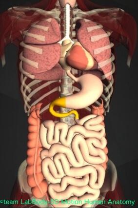 小腸位置図 十二指腸
