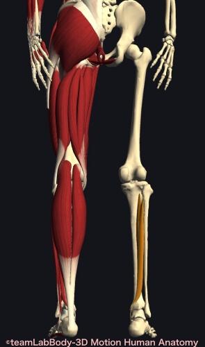 ウォーキング 筋肉痛 後脛骨筋