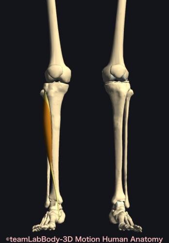 ウォーキング 筋肉痛 前脛骨筋