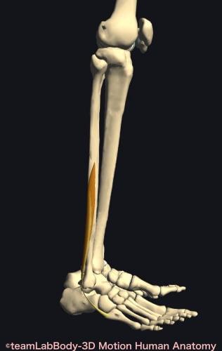 ウォーキング 筋肉痛 短腓骨筋