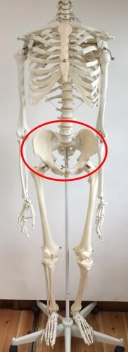 骨盤の位置 図