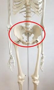 骨盤の位置を解剖図で解説!骨盤の名称について