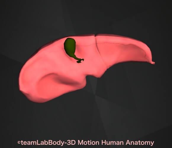 胆嚢場所図下から