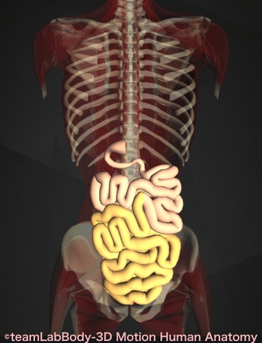 トライツ靭帯 回腸 位置 図
