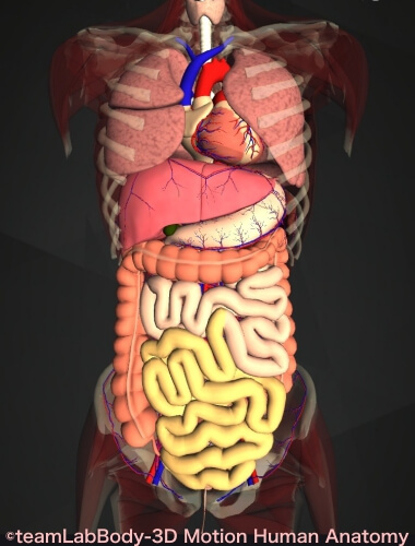 回腸 内臓全体 位置 図