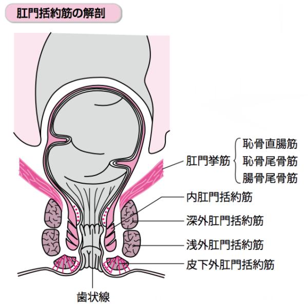 直腸 場所 図 肛門括約筋