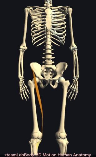 上前腸骨棘 縫工筋