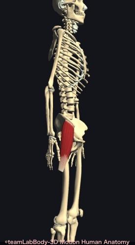 上前腸骨棘 大腿筋膜張筋